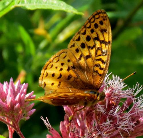9. Great Spangled Fritillary Butterfly