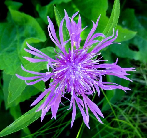1. Spotted Knapweed