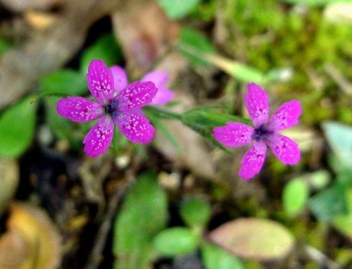 10. Deptford Pink aka Dianthus armeria