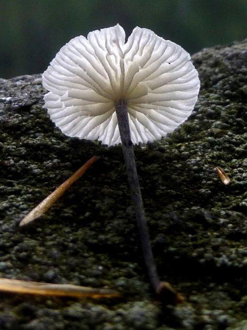 10. Marasmius delectans