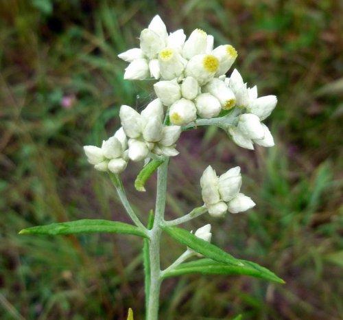 10. Sweet everlasting aka Pseudognaphalium obtusifolium