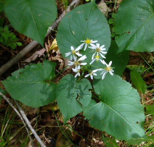 11. Large Leaved Aster