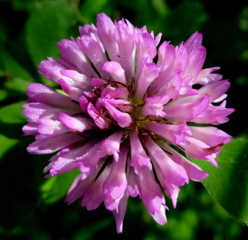 11. Red Clover