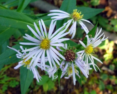 12. New England Aster