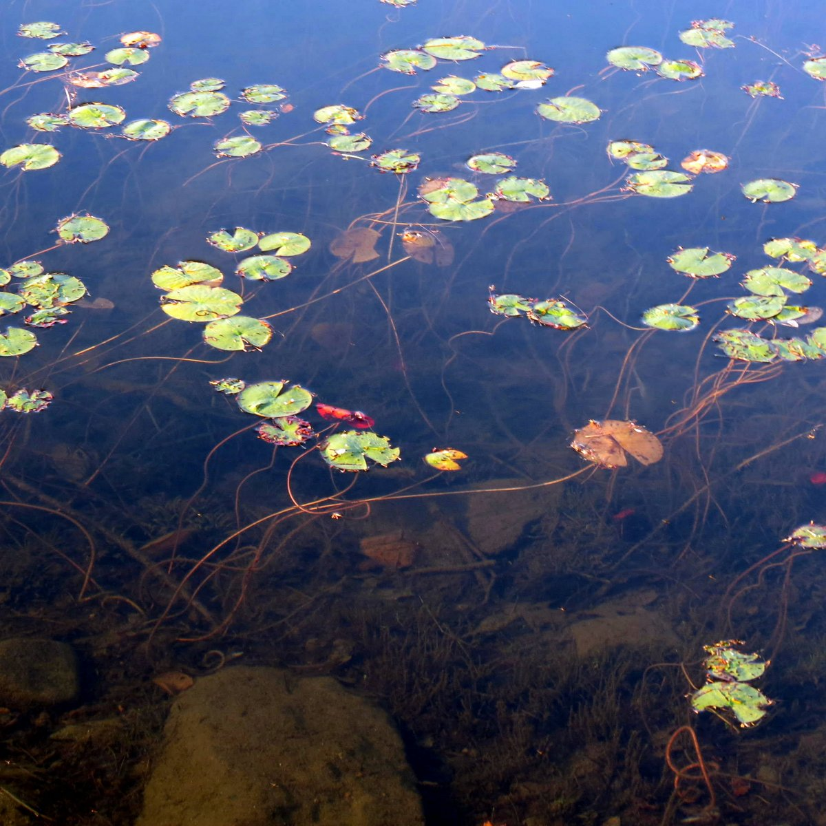 12. Water Lily Stems
