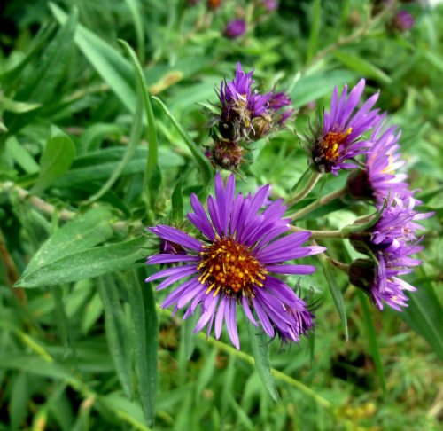 13. Dark Colored Aster