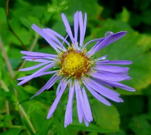 13. Purple Aster
