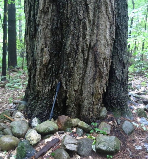 14. Old Red Oak Tree