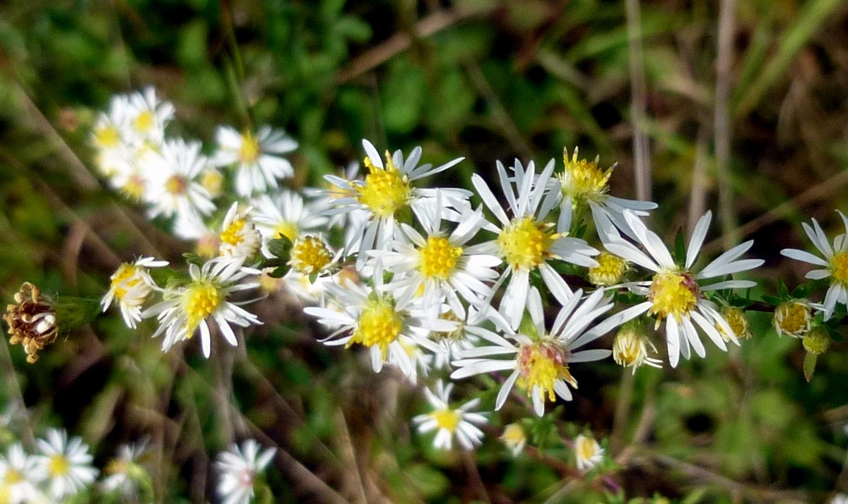 Small flower white aster new hampshire garden solutions small flowered aster mightylinksfo