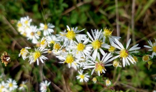 3. Small Flowered Aster
