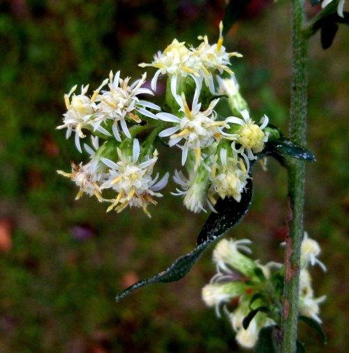 6. Silverrod Flowers