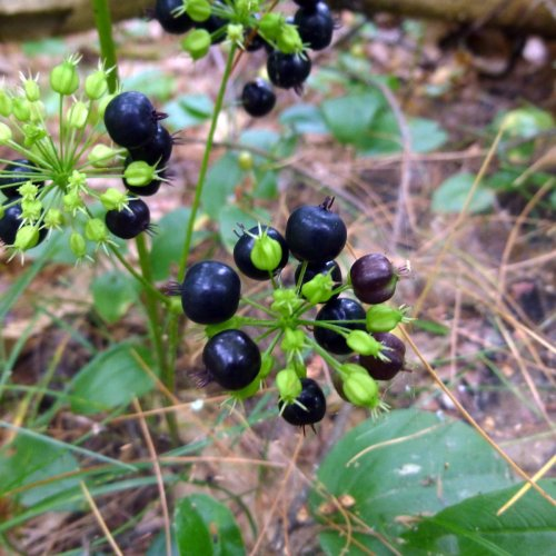 6. Wild Sarsaparilla Fruit