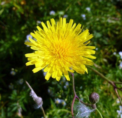 8. Perennial Sow Thistle aka Sonchus arvensis
