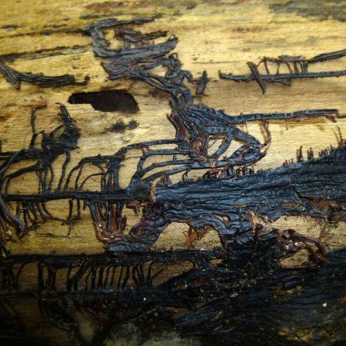 Bootstrap or Honey Fungus aka Armillaria mellea_gallica