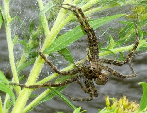 Large Fishing Spider aka Dolomedes tenebrosus on Goldenrod