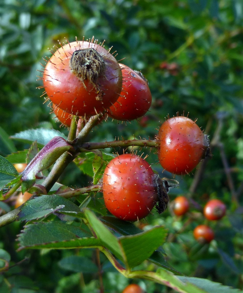 1. Alberta Wild Rose Hips aka  Rosa acicularis or prickly rose