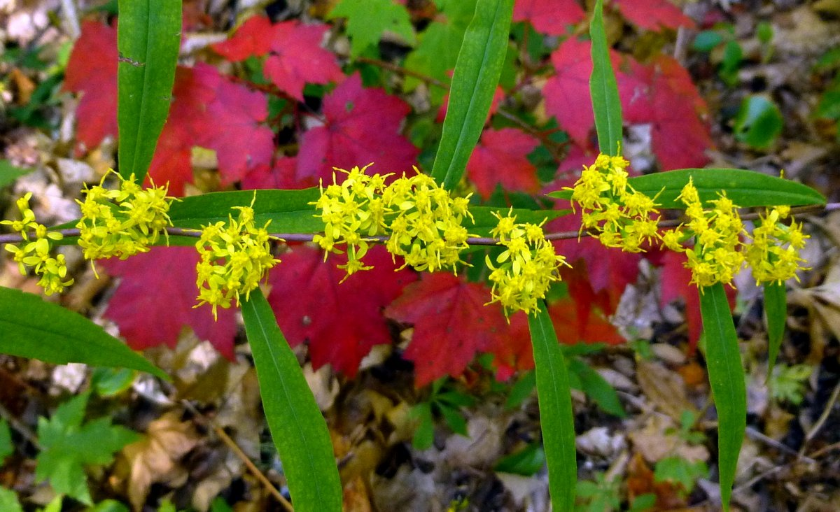 1. Bluestem Goldenrod