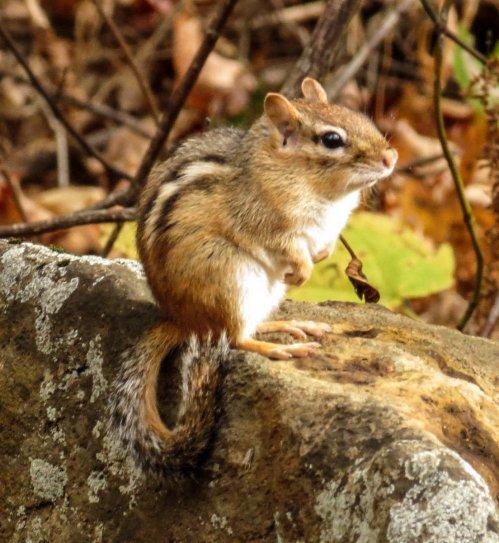 1. Chubby Chipmunk