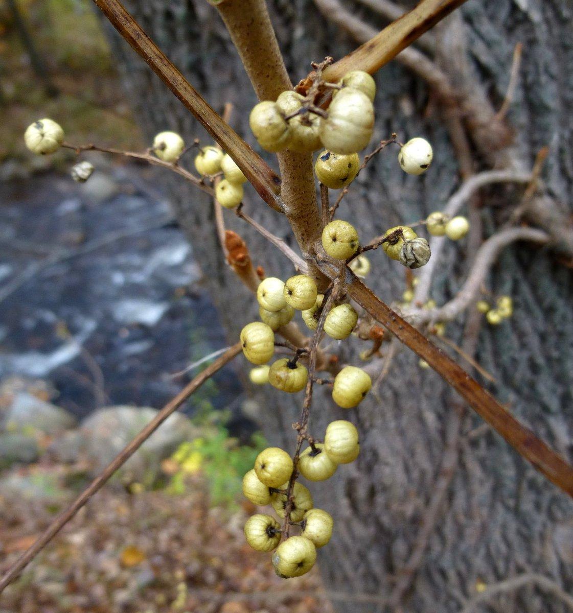 10. Poison Ivy Berries