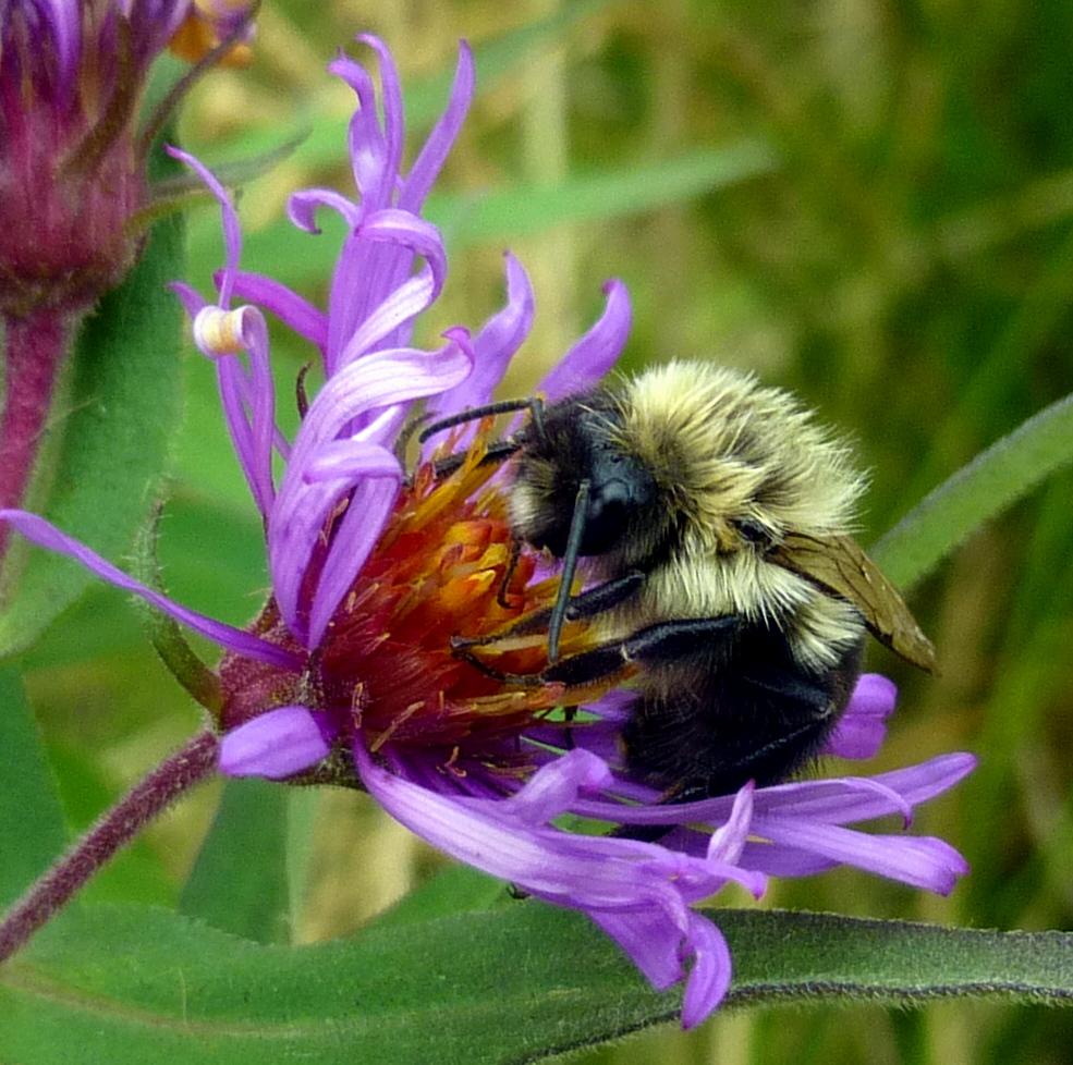 12. Bumblebee on Purple Stemmed Aster