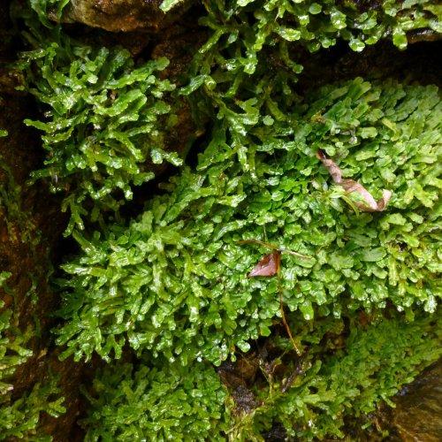 12. Liverwort Conocephalum conicum 2