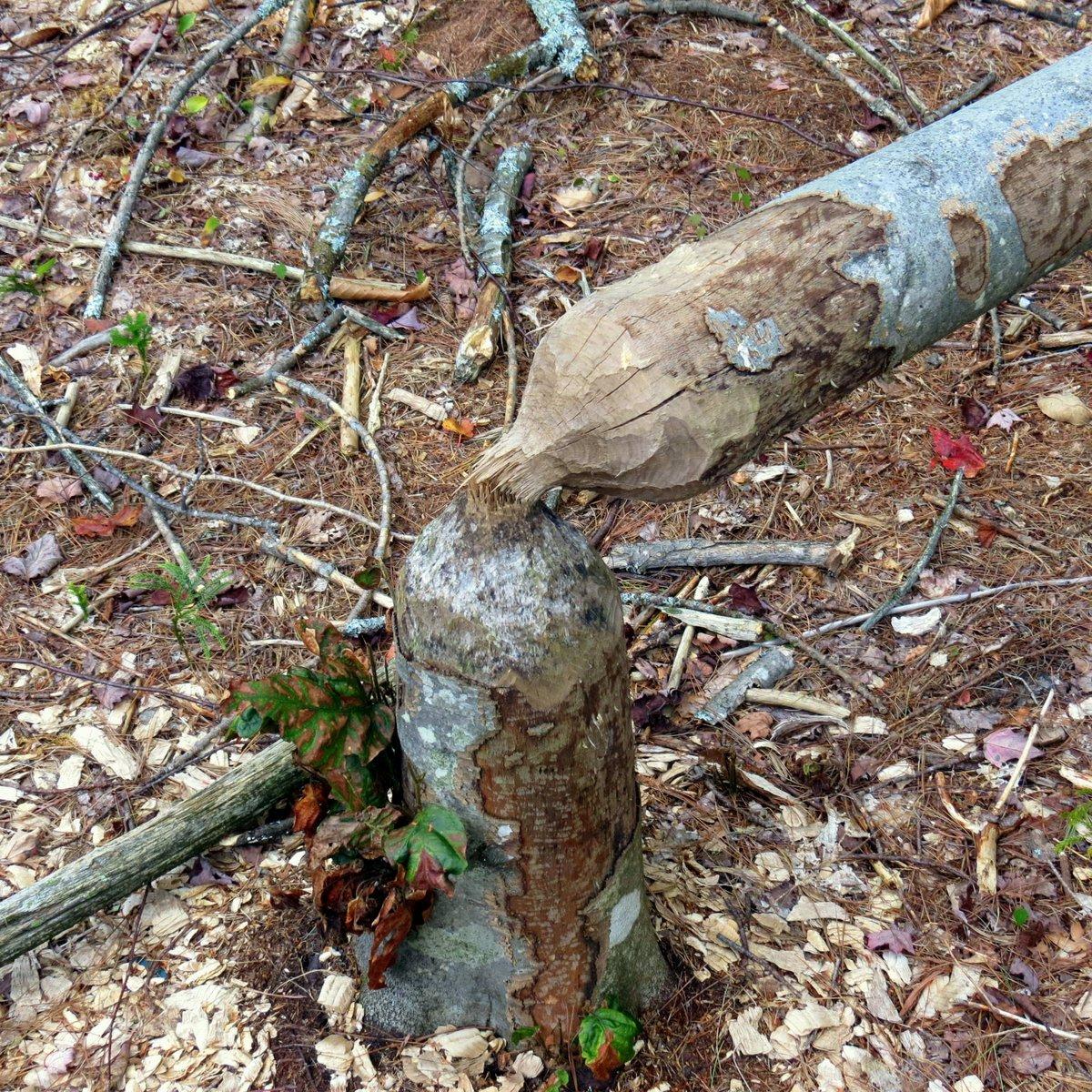 16. Beaver Tree
