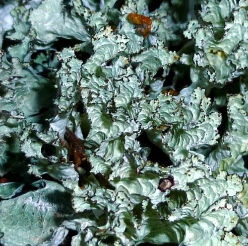 3. Foliose Lichen