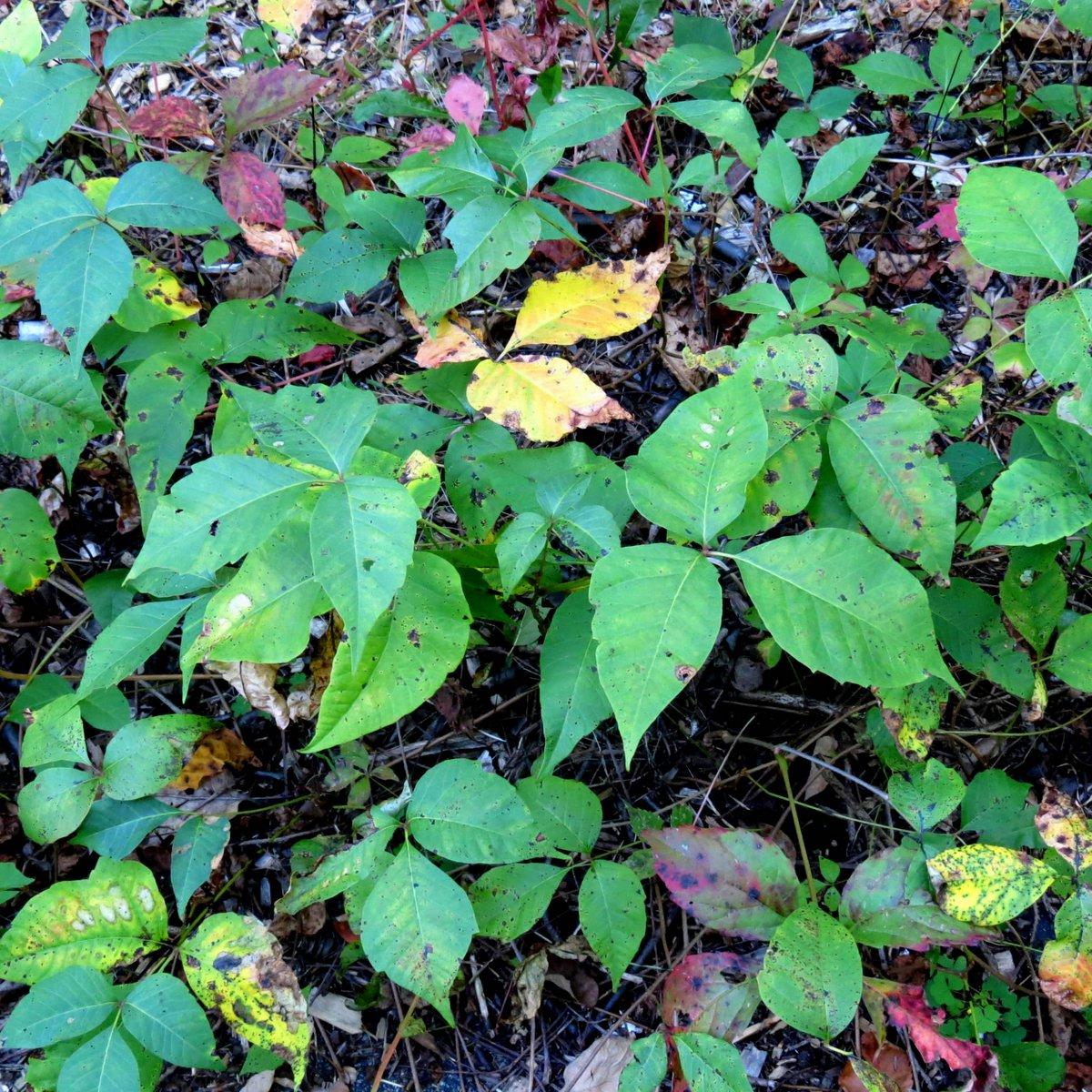 3. Poison Ivy