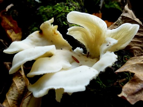 5. Oyster Mushrooms
