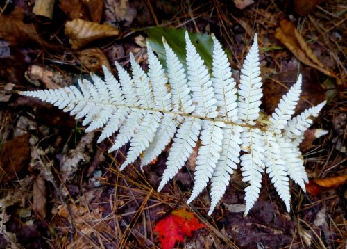 5. Pale New York Fern
