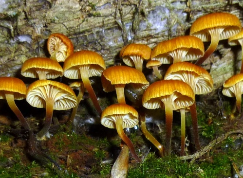 6. Orange Mycena Mushrooms