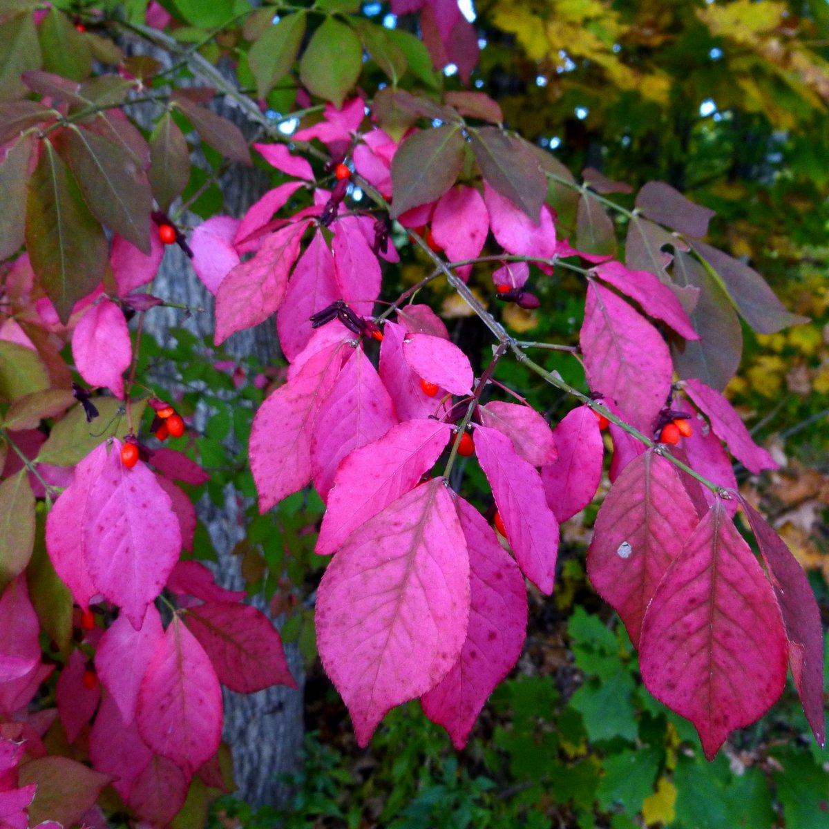 7. Burning Bush Foliage