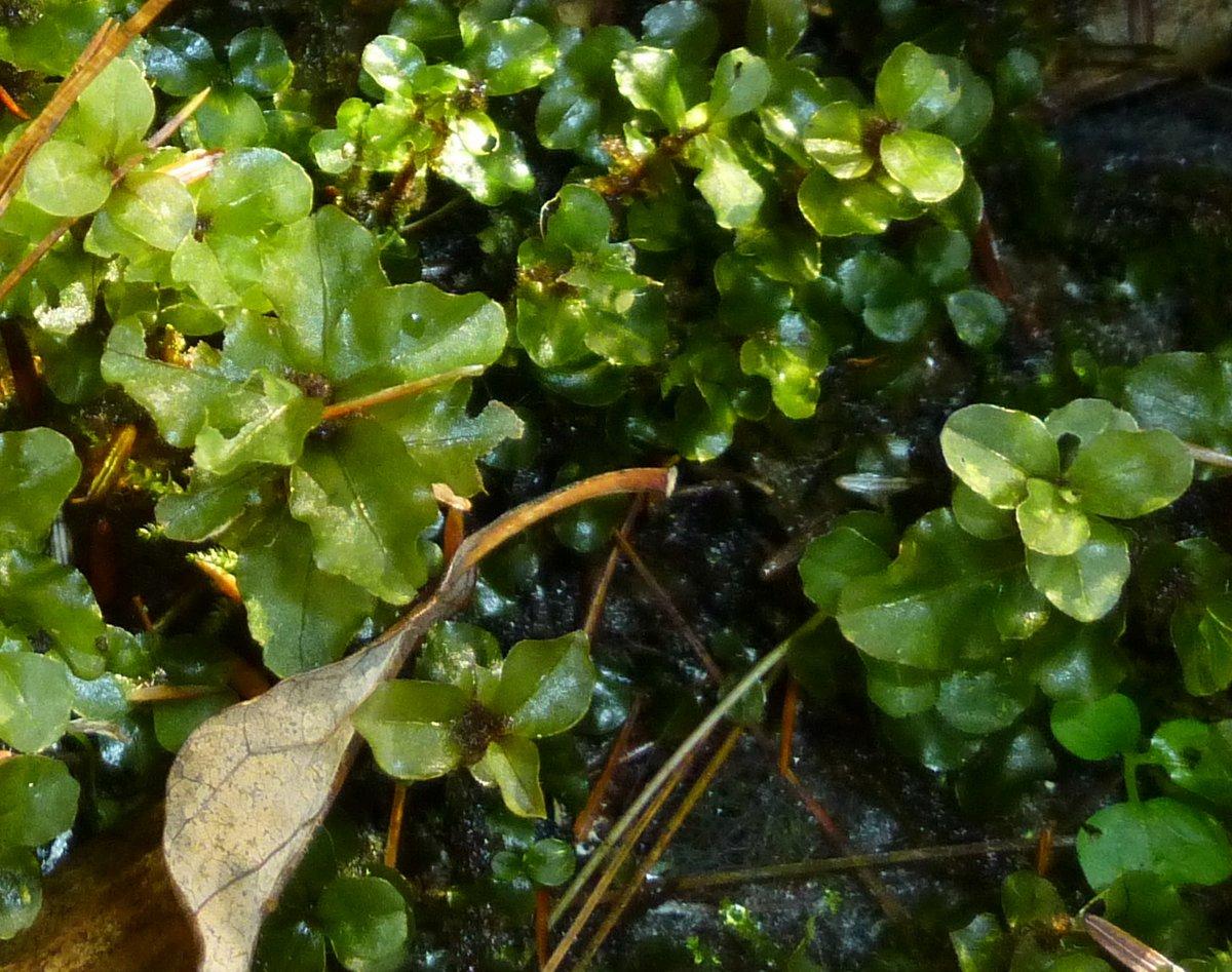 7. Moss Mnium punctatum