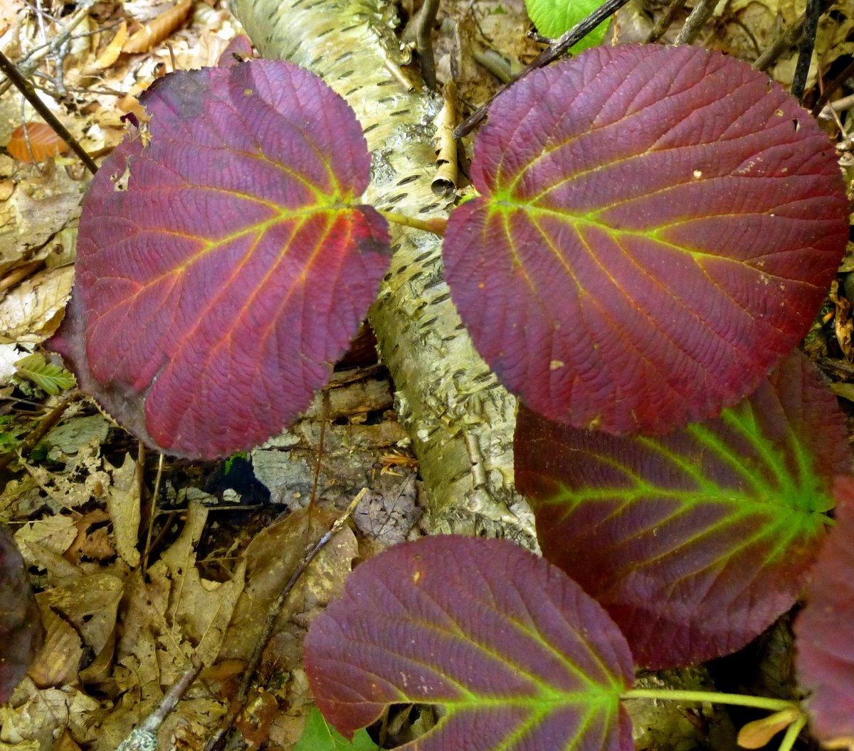 8. Hobblebush Leaves