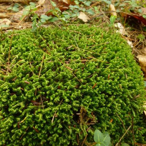 8. Rock Covered With Liverwort Bazzania trilobata