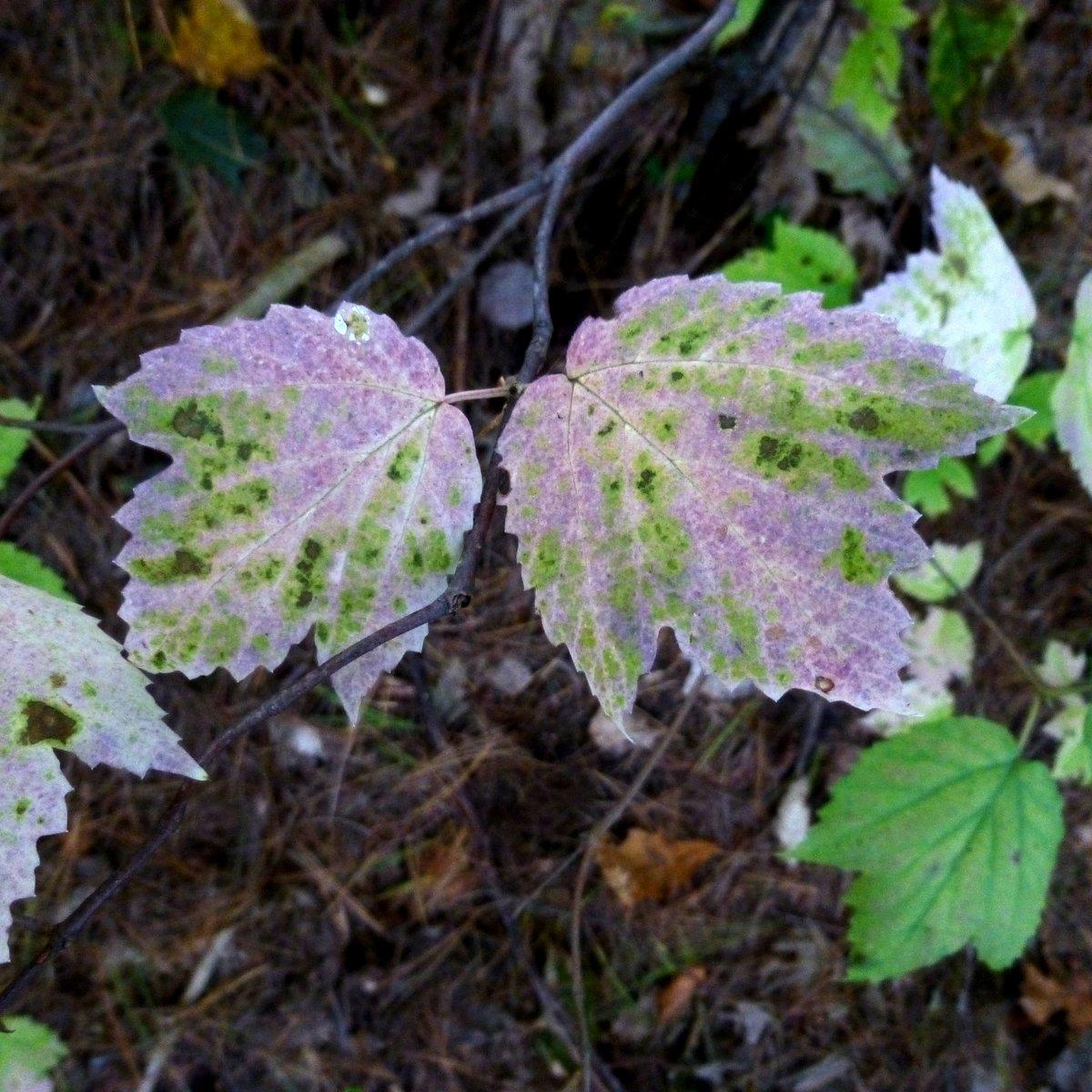 9. Maple Leaf Viburnum Foliage