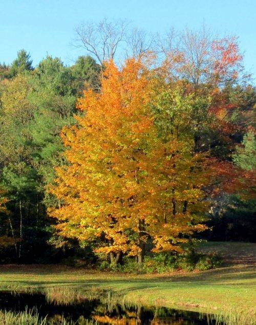 9. Maple Tree 5-2