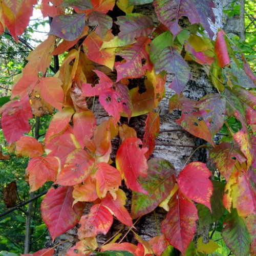 9. Poison Ivy