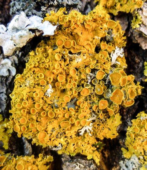 1. Poplar Sunburst Lichen