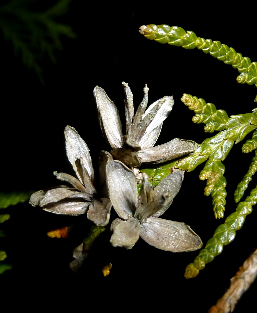 10. Eastern Arborvitae aka Thuja occidentalis Cones