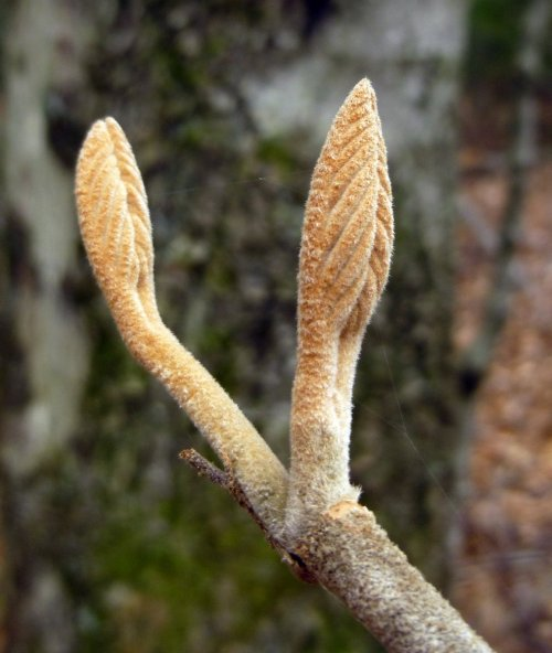 10. Hobblebush Buds