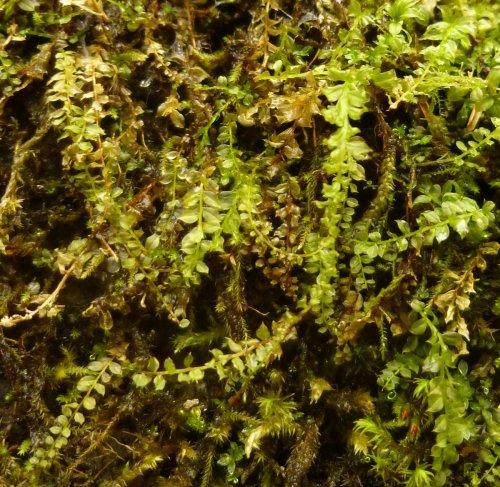 11. Baby Tooth Moss aka Plagiomnium cuspidatum