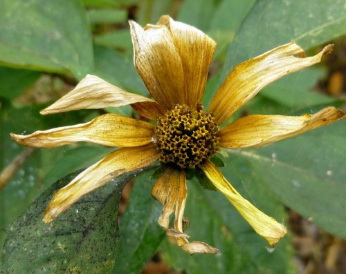 11. Frosted Helianthus