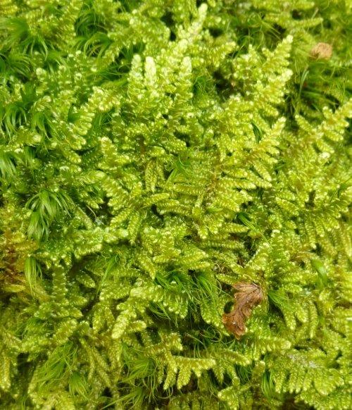 12. Brocade Moss aka Hypnum imponens