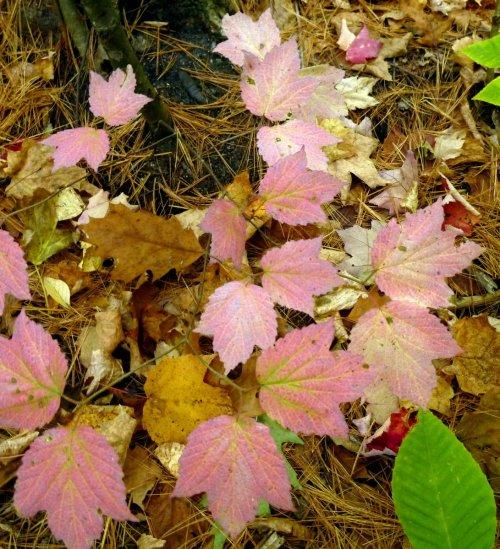 12. Marple Leaf Viburnum