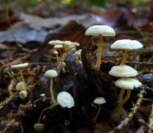 14. Alboleptonia sericella Mushrooms