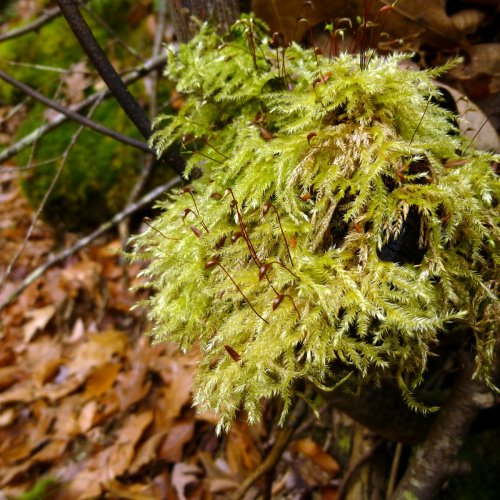 14. Yellow Feather Moss aka Homalothecium lutescens