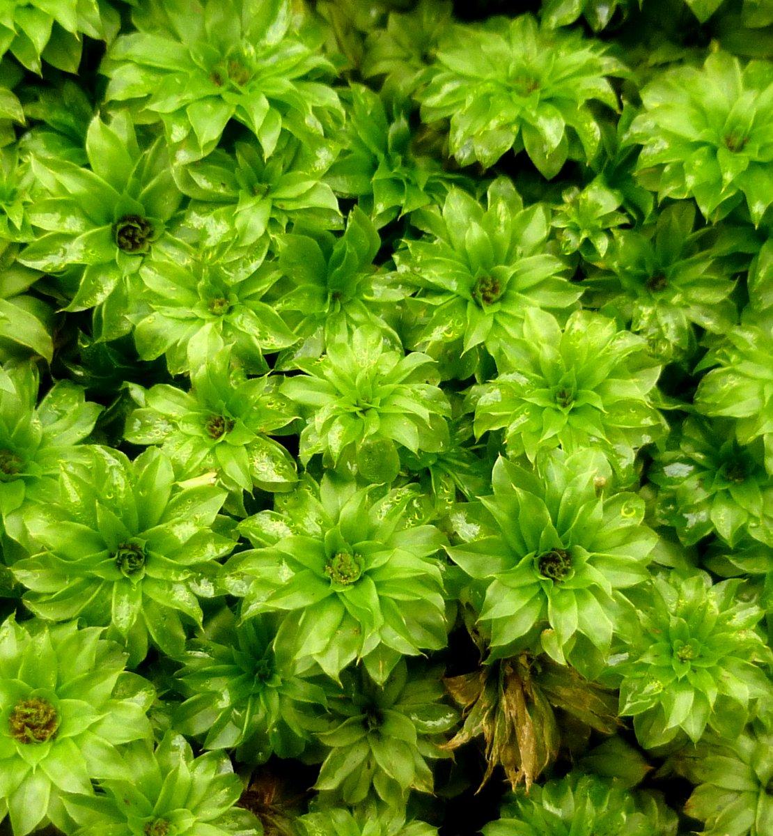 2. Rose Moss aka Rhodobryum roseum