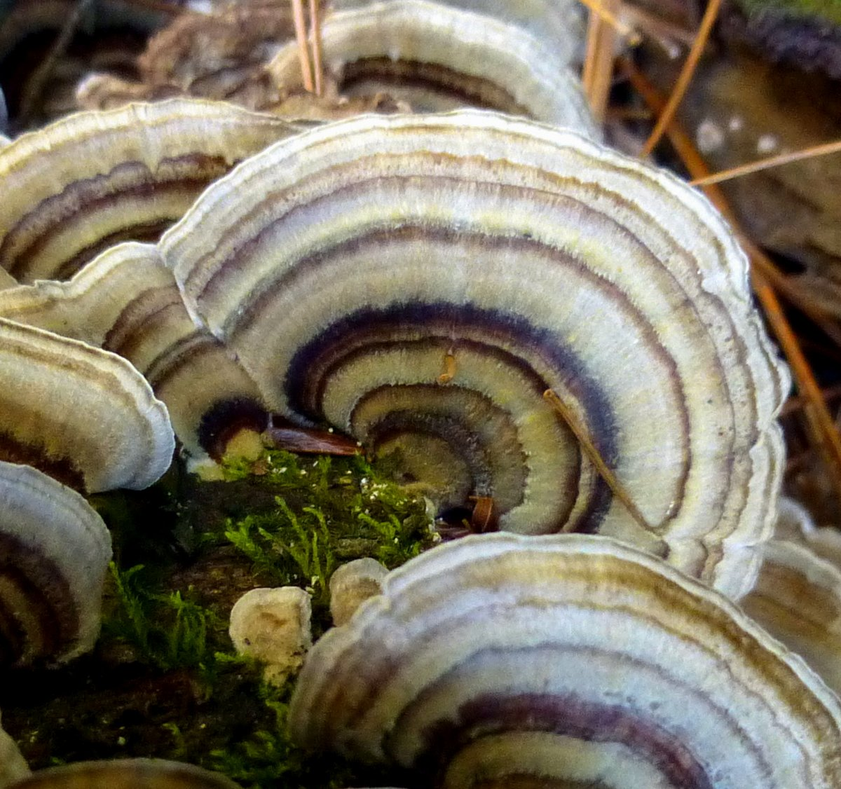 What is a turkey tail