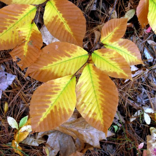3. Beech Leaves Browning